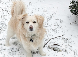 white dog in snow270